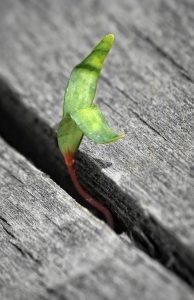 Pflanze, Keimling im Brett